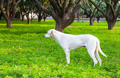 White dog in the garden Royalty Free Stock Images
