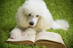 Dog reads the book. A white dog on a green carpet reads the book Stock Photo