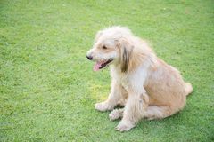 White dog. On the green grass Stock Photography