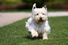 White dog in green grass Royalty Free Stock Photos