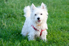White dog on a green grass background. White dog with red collar on a green grass background stock images