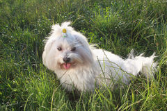 White dog in the green grass - Bichon Maltese Dog Breed. White dog in the green grass Bichon Maltese Dog Breed Royalty Free Stock Photo