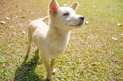 White Dog on a green grass. White Dog come to get some food Stock Photos
