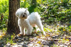 White Dog on Green Grass / A white maltese dog standing on green. Grass and plants background Royalty Free Stock Images