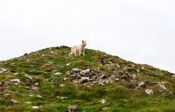 White dog royalty free stock photos