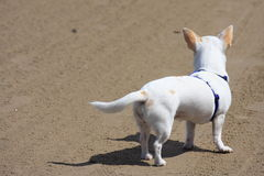 White dog on guard Royalty Free Stock Photos