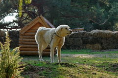White dog. Guard dog. Tied near the farm that he defend Stock Photo