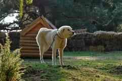 White dog. Guard dog Stock Photo