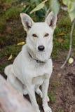White dog guarding royalty free stock images