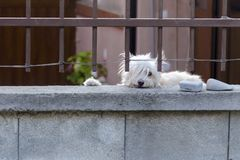 White dog is guarding house and looking at the passersby. Cute hound behind metal fence is standing at the garden gate and royalty free stock image