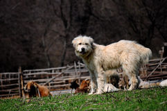 White dog guarding sheep Stock Photos