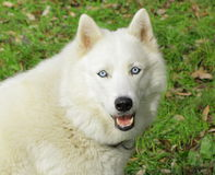 White dog husky. White dog with blue eyes stock photo