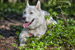 White dog of the Husky breed in the forest Stock Images