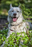 White dog of the Husky breed in the forest Royalty Free Stock Photos