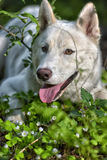 White dog of the Husky breed in the forest Stock Photography