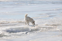 White dog on ice Royalty Free Stock Photos