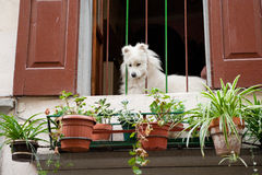 White dog at an Italian balcony Royalty Free Stock Image
