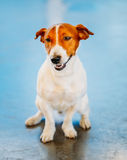 White Dog Jack Russel Terrier Royalty Free Stock Photo