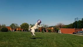 White dog jumping and catching a round violet hoop on a lawn in summer in slo-mo. Jolly view of a white shaggy dog catching a round violet hoop while jumping stock video footage