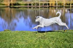 White dog jumping on grass Stock Photos
