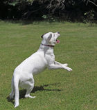White Dog Jumping Royalty Free Stock Photography