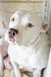White dog just gave birth Royalty Free Stock Photos