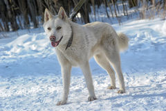White dog  on the snow Stock Images