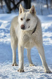 White dog  on the snow Royalty Free Stock Photography
