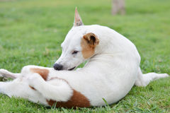 White dog. In lawn, iching, pet Royalty Free Stock Image