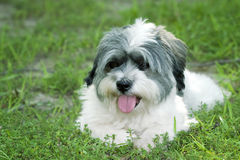 White dog layin in grass Royalty Free Stock Images