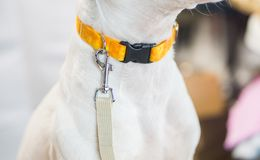 White dog with leash waiting to go for a walk, with empty white space royalty free stock photos