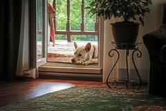 The dog is near the door. A white dog lies on the veranda near the front door to the house Royalty Free Stock Image