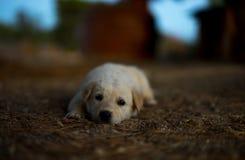 White dog. Little italian maremmano dog lying outdoors Royalty Free Stock Photography