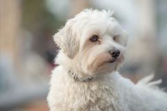 White dog. Little white toy dog looking Royalty Free Stock Photos
