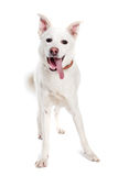 White dog look in camera Stock Photo