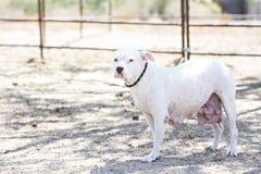 White dog looking at camera Royalty Free Stock Photography