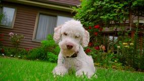 White dog looking at camera. White poodle dog lying on grass. Dog running away. White dog looking at camera. White poodle dog lying on grass near house. Dog stock video