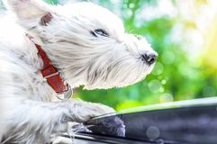 White dog Looking Out Of Car Window. Dog with wind in face. the concept of travel, summer vacation