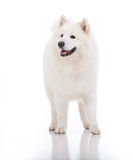 White dog, looking to the side Royalty Free Stock Photo