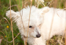 A white dog looks down in a field. A white dog looks sad or abandoned, in a field with its head down Royalty Free Stock Photo