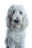 White dog looks to the right of the camera royalty free stock image