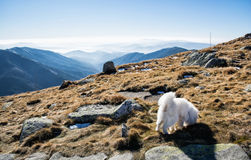 White dog and Low Tatras mountains, hiking theme Royalty Free Stock Images