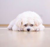 A white dog is lying on the floor Royalty Free Stock Photos
