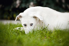 White dog lying on the grass Stock Photography