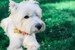 White dog lying on the grass. stock image