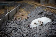 White dog lying in the hole stock photo