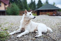 White dog lying and protecting the street. Royalty Free Stock Image
