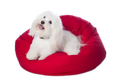 White Dog Lying on Red Bean Bag. A white Coton de Tulear dog, lying on a red bean bag. This rare breed is related to the Bichon Tenerife and Tenerife Terrier royalty free stock photography