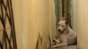 White Dog Lying Between Vintage Narrow Aisle stock photography
