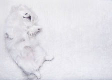 White dog lying on a white carpet. Royalty Free Stock Image